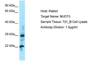 Image no. 1 for anti-Nudix (Nucleoside Diphosphate Linked Moiety X)-Type Motif 5 (NUDT5) (N-Term) antibody (ABIN2790156)