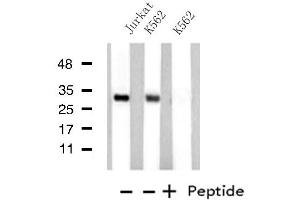 Image no. 2 for anti-Mediator Complex Subunit 8 (MED8) antibody (ABIN6257837)