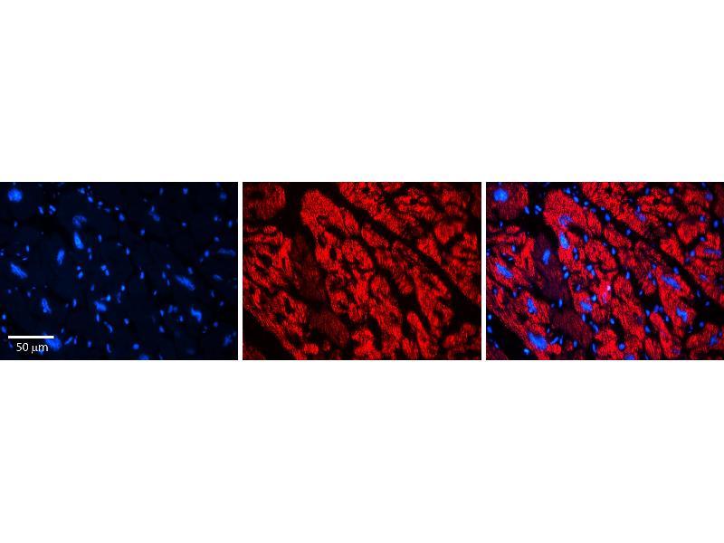 Immunohistochemistry (IHC) image for anti-Extracellular Matrix Protein 1 (ECM1) (Middle Region) antibody (ABIN2782635)