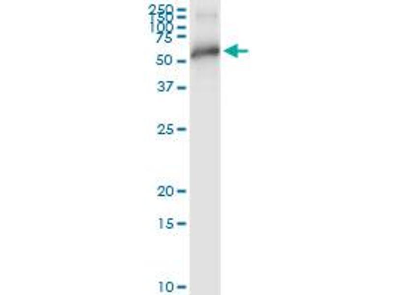 Immunoprecipitation (IP) image for anti-TNF Receptor-Associated Factor 2 (TRAF2) (AA 1-501), (full length) antibody (ABIN948588)