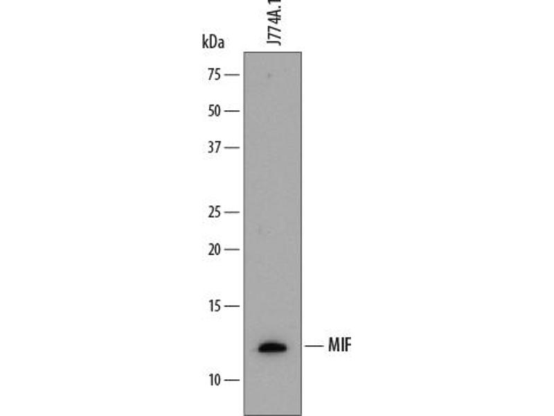Western Blotting (WB) image for anti-Macrophage Migration Inhibitory Factor (Glycosylation-Inhibiting Factor) (MIF) (AA 1-115) antibody (ABIN4898944)