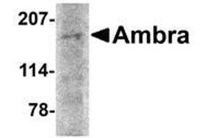 Western Blotting (WB) image for anti-Autophagy/beclin-1 Regulator 1 (AMBRA1) (N-Term) antibody (ABIN499273)
