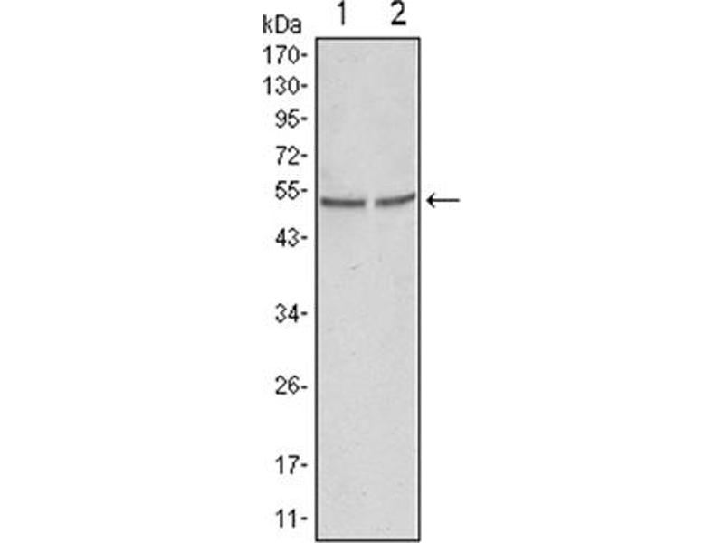 Western Blotting (WB) image for anti-GSK3 alpha antibody (Glycogen Synthase Kinase 3 alpha) (ABIN1107445)