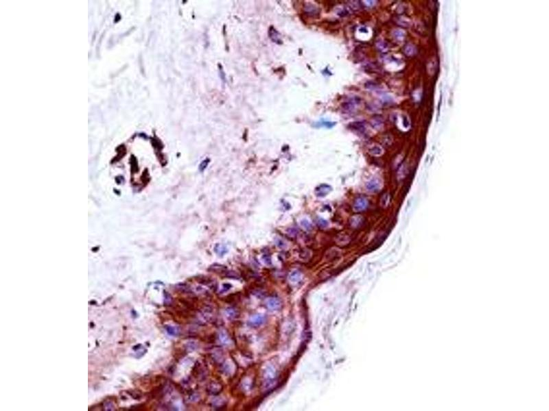 Immunohistochemistry (Paraffin-embedded Sections) (IHC (p)) image for anti-Kallikrein 9 antibody (KLK9) (AA 81-111) (ABIN953103)