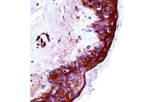Immunohistochemistry (Paraffin-embedded Sections) (IHC (p)) image for anti-Kallikrein 9 (KLK9) (AA 81-111), (Middle Region) antibody (ABIN953103)
