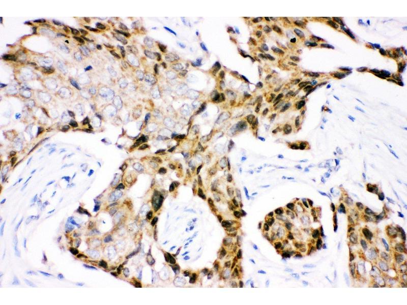 Immunohistochemistry (IHC) image for anti-Ubiquitin B (UBB) (AA 77-152) antibody (ABIN3042338)