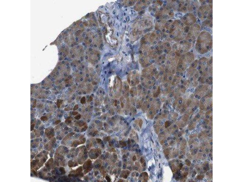 Immunohistochemistry (Paraffin-embedded Sections) (IHC (p)) image for anti-SCYL1 antibody (SCY1-Like 1 (S. Cerevisiae)) (ABIN4352324)