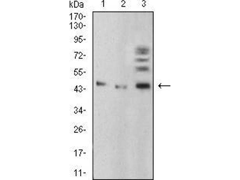 Western Blotting (WB) image for anti-Bone Morphogenetic Protein 4 (BMP4) (AA 277-408) antibody (ABIN5542286)