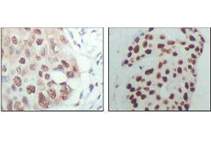 Image no. 1 for anti-Histone Deacetylase 3 (HDAC3) (AA 224-428) antibody (ABIN969189)