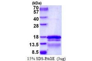 Image no. 1 for Transcription Elongation Factor A (SII)-Like 7 (TCEAL7) protein (His tag) (ABIN1098326)