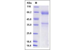 image for C-Type Lectin Domain Family 1, Member A (CLEC1A) (AA 73-269) peptide (Fc Tag) (ABIN2009316)
