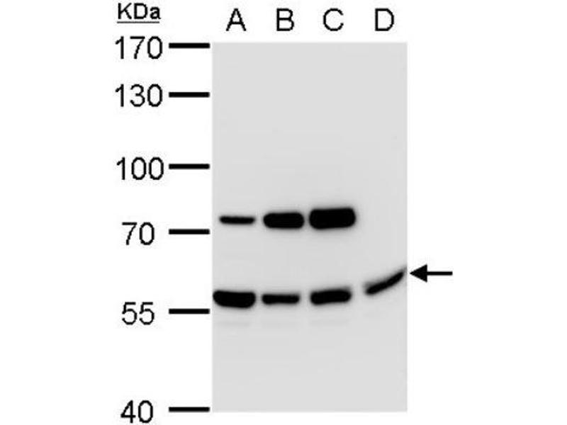 Western Blotting (WB) image for anti-Anti-Mullerian Hormone (AMH) (C-Term) antibody (ABIN4334571)