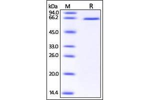 Image no. 1 for delta-Like 1 (DLL1) (AA 18-540) protein (His tag) (ABIN2870633)