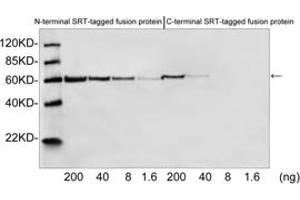 Western Blotting (WB) image for anti-SRT Tag antibody (ABIN1573939)