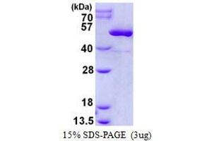 Image no. 1 for Creatine Kinase, Mitochondrial 2 (Sarcomeric) (CKMT2) protein (His tag) (ABIN1098317)