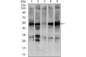 Image no. 3 for anti-Nuclear Receptor Subfamily 6, Group A, Member 1 (NR6A1) (AA 65-118) antibody (ABIN1846242)