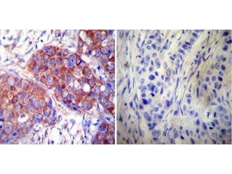 Immunohistochemistry (Paraffin-embedded Sections) (IHC (p)) image for anti-Heat Shock 60kDa Protein 1 (Chaperonin) (HSPD1) antibody (ABIN267325)