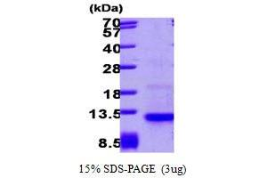 Image no. 1 for Chemokine (C-C Motif) Ligand 26 (CCL26) (AA 24-94) protein (ABIN666657)