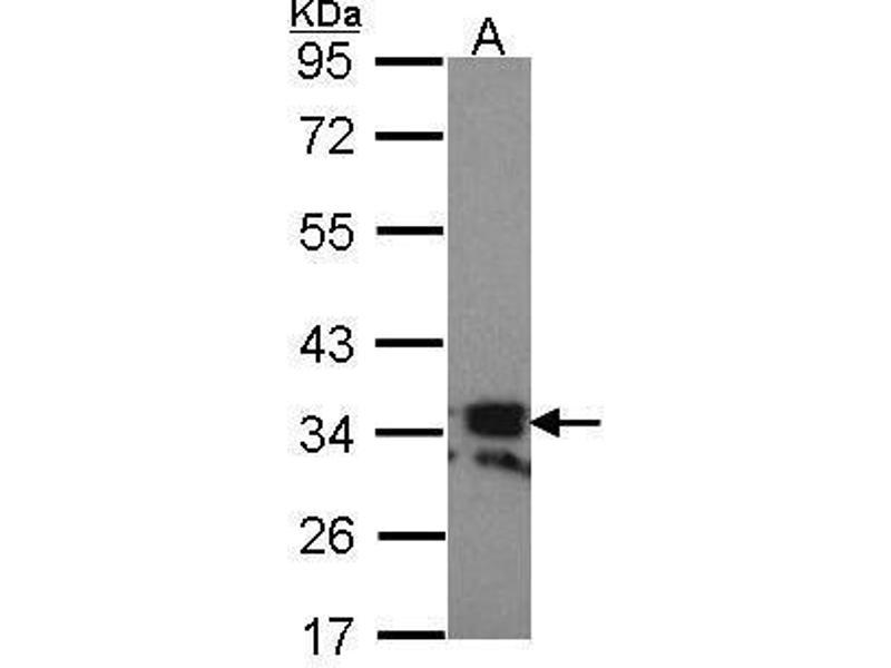 Western Blotting (WB) image for anti-TNFSF11 antibody (Tumor Necrosis Factor (Ligand) Superfamily, Member 11) (ABIN2497217)