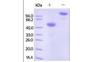 Image no. 1 for Ephrin A1 (EFNA1) (AA 19-182) protein (Fc Tag) (ABIN2180992)
