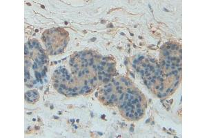 Image no. 4 for anti-Signal Transducer and Activator of Transcription 5A (STAT5A) (AA 673-773) antibody (ABIN1174962)