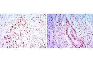 Immunohistochemistry (IHC) image for anti-CDC27 antibody (Cell Division Cycle 27 Homolog (S. Cerevisiae)) (ABIN969035)