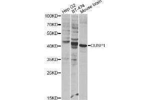 Image no. 2 for anti-Dual Specificity Phosphatase 1 (DUSP1) antibody (ABIN3016981)