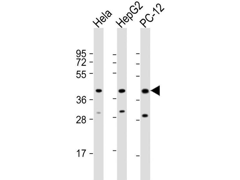 Western Blotting (WB) image for anti-Mitogen-Activated Protein Kinase 14 (MAPK14) (AA 301-330) antibody (ABIN5533797)