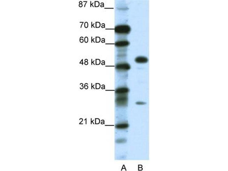 Western Blotting (WB) image for anti-Glial Cells Missing Homolog 1 (Drosophila) (GCM1) (C-Term) antibody (ABIN2792609)