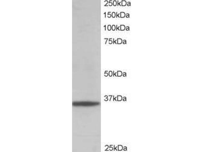 Western Blotting (WB) image for anti-GAPDH antibody (Glyceraldehyde-3-Phosphate Dehydrogenase) (C-Term) (ABIN185240)