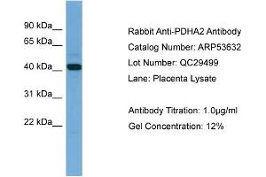 Image no. 1 for anti-Pyruvate Dehydrogenase (Lipoamide) alpha 2 (PDHa2) (N-Term) antibody (ABIN2785491)