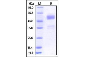 Image no. 2 for B and T Lymphocyte Associated (BTLA) (AA 31-150) (Active) protein (Fc Tag) (ABIN2870806)