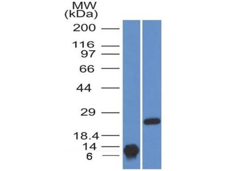 Western Blotting (WB) image for anti-Brain-Derived Neurotrophic Factor (BDNF) antibody (ABIN4283827)