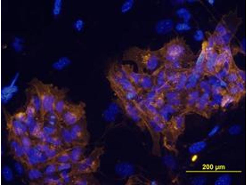 Immunocytochemistry (ICC) image for anti-Podocalyxin-Like (PODXL) antibody (ABIN5503174)