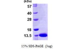 Image no. 1 for S100 Calcium Binding Protein A13 (S100A13) (AA 1-98) protein (His tag) (ABIN667408)