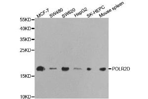 Image no. 2 for anti-Polymerase (RNA) II (DNA Directed) Polypeptide D (POLR2D) antibody (ABIN3015637)