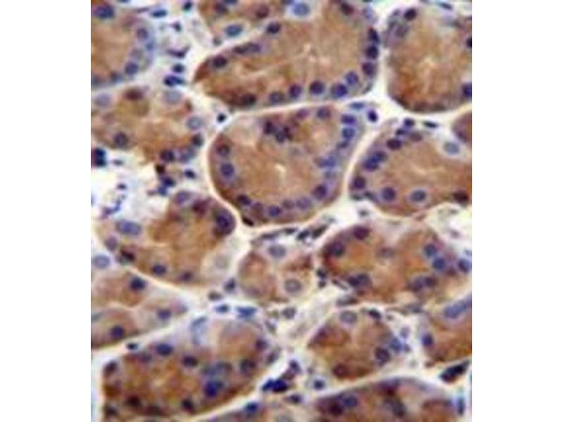Immunohistochemistry (Paraffin-embedded Sections) (IHC (p)) image for anti-Leucine-Rich Repeat and WD Repeat-Containing Protein 1 (LRWD1) (AA 4-33), (N-Term) antibody (ABIN953241)