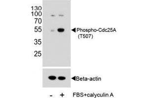 Image no. 4 for anti-Cell Division Cycle 25 Homolog A (S. Pombe) (CDC25A) (pThr507) antibody (ABIN3030450)
