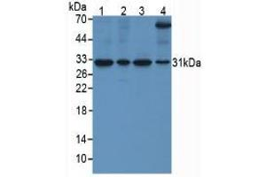 Western Blotting (WB) image for anti-Secreted Frizzled-Related Protein 4 (SFRP4) (AA 265-346) antibody (ABIN3201774)