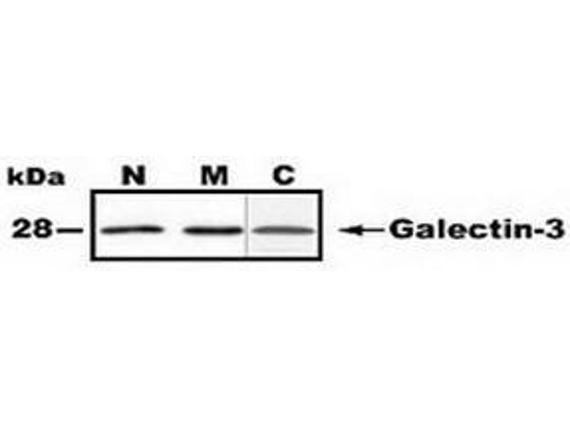 Western Blotting (WB) image for anti-Galectin 3 antibody (Lectin, Galactoside-Binding, Soluble, 3) (N-Term) (ABIN1107298)