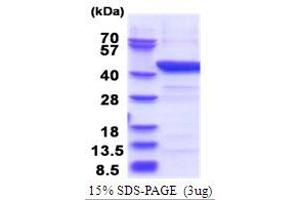 Image no. 1 for Indoleamine 2,3-Dioxygenase 1 (IDO1) (AA 1-403) protein (His tag) (ABIN5853744)