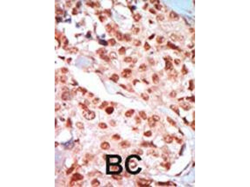 Immunohistochemistry (IHC) image for anti-PRKAA2 antibody (Protein Kinase, AMP-Activated, alpha 2 Catalytic Subunit) (AA 265-295) (ABIN391058)