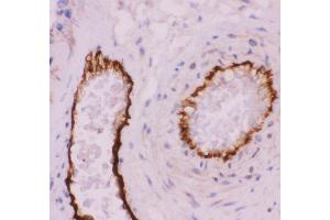 Image no. 1 for anti-Platelet/endothelial Cell Adhesion Molecule (PECAM1) (AA 28-382) antibody (ABIN3043601)