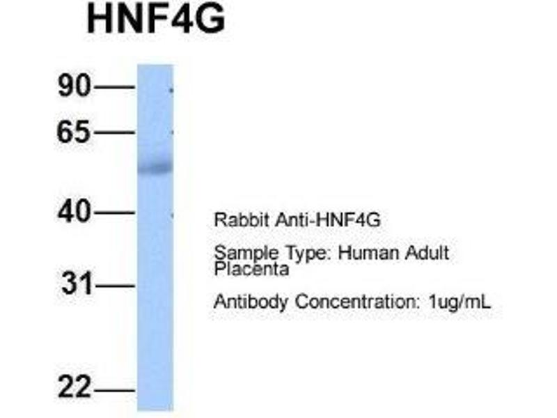 Western Blotting (WB) image for anti-Hepatocyte Nuclear Factor 4 gamma (HNF4G) (C-Term) antibody (ABIN4889989)