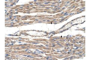 Image no. 1 for anti-Solute Carrier Family 2 (Facilitated Glucose Transporter), Member 6 (SLC2A6) antibody (ABIN630369)