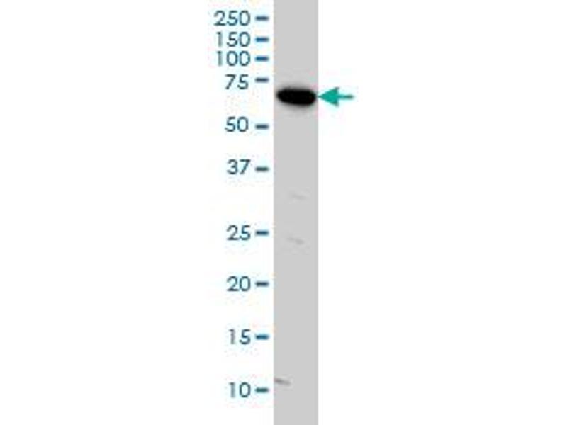 Western Blotting (WB) image for anti-V-Raf Murine Sarcoma 3611 Viral Oncogene Homolog (ARAF) (AA 151-250), (partial) antibody (ABIN559921)