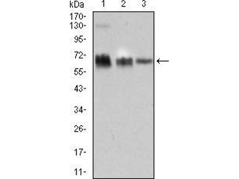 Western Blotting (WB) image for anti-TRAF-Type Zinc Finger Domain Containing 1 (TRAFD1) (AA 401-582) antibody (ABIN1724774)