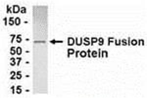 Image no. 1 for anti-Dual Specificity Phosphatase 9 (DUSP9) (AA 1-116) antibody (ABIN2468008)