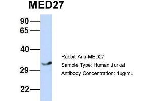 Image no. 3 for anti-Mediator Complex Subunit 27 (MED27) (Middle Region) antibody (ABIN2778099)