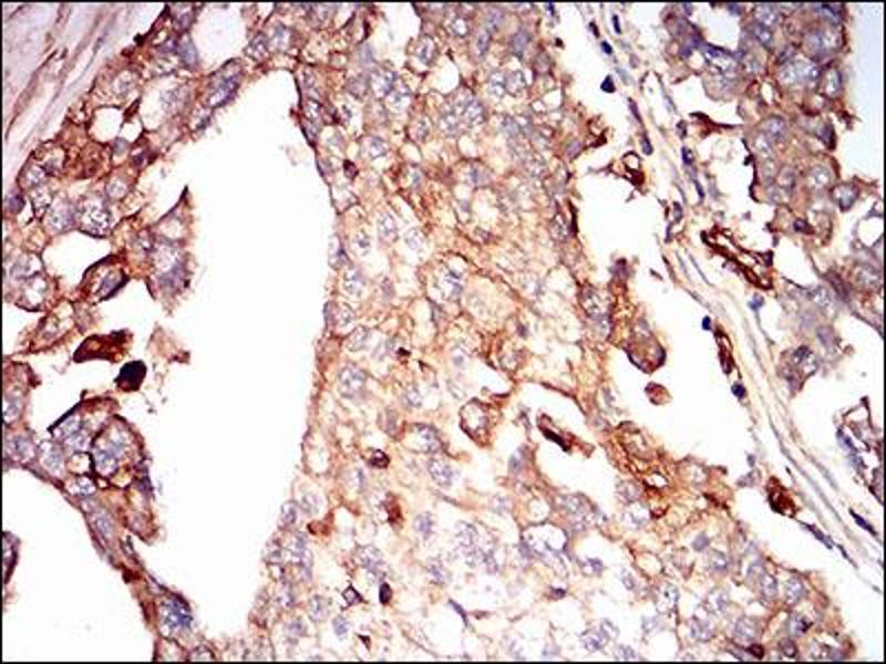Image no. 1 for anti-Syndecan 1 (SDC1) (AA 28-171) antibody (ABIN1724936)